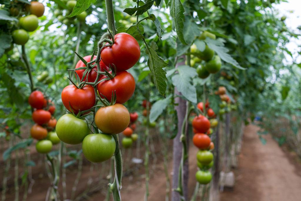 Tomates Ecologico Online